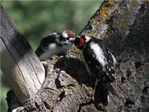 Downy Woodpecker feeding chick
