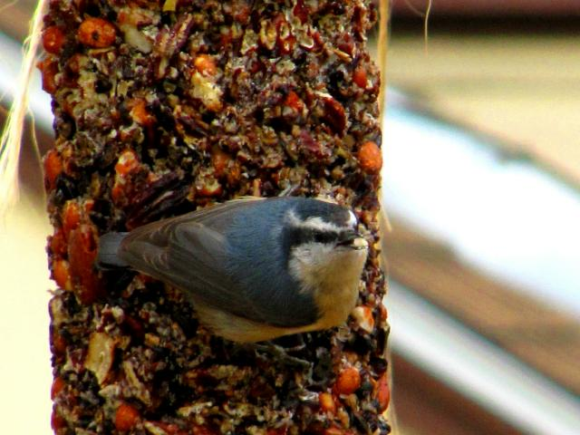 Red-breasted Nuthatch ~ Sitta canadensis ~ 711 T 04.07.13AM 0486