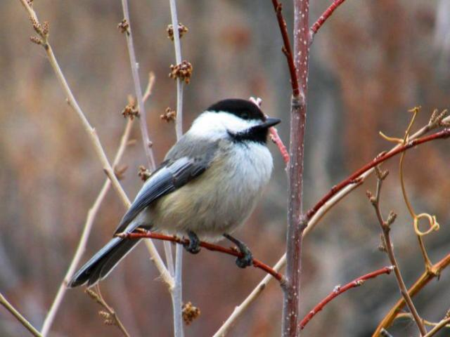 crain_black_capped_chickadee