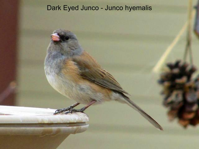 crain_dark_eyed_junco