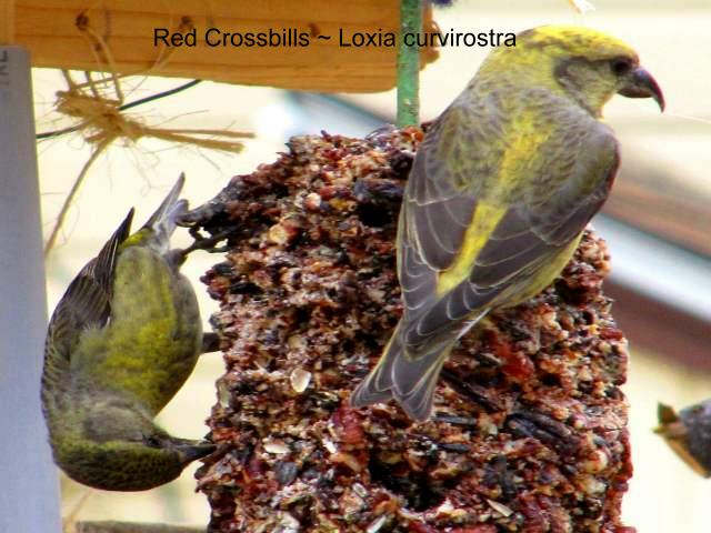 crain_red_crossbills