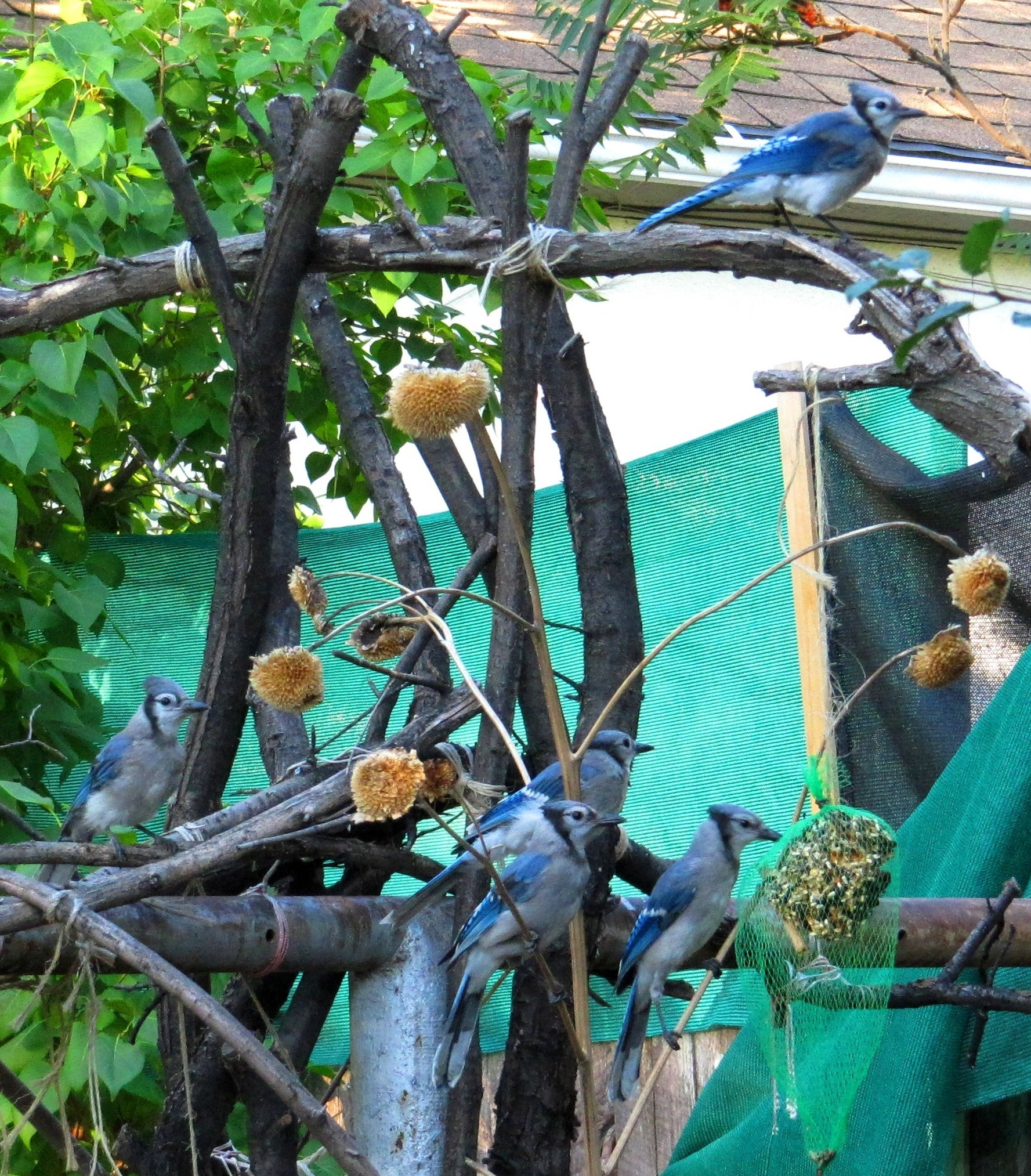 craine_bluejays_in_tree