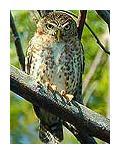 cuban_pygmy_owl