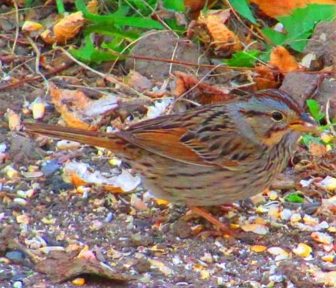 lincolns_sparrow