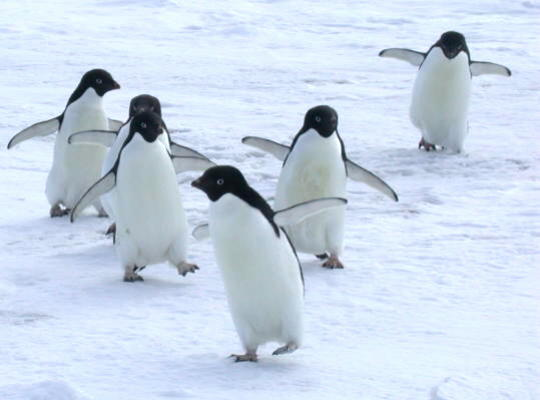 lyman_adele_penguins