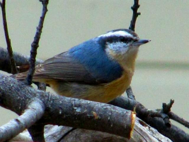red_breasted_nuthatch