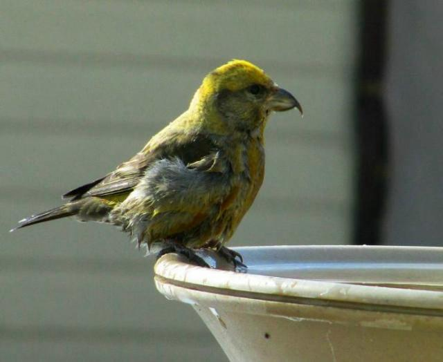 red_crossbill_4