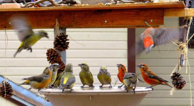 red_crossbills_at_feeder