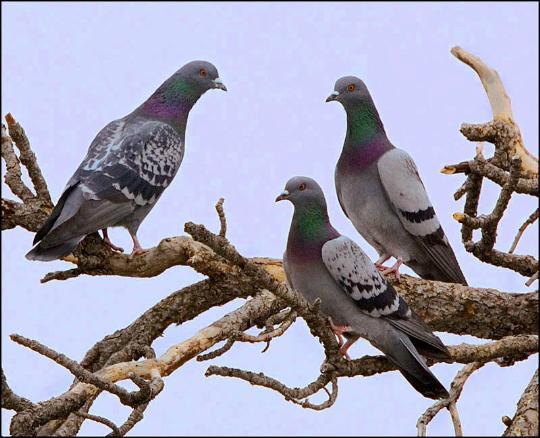 tasey_rock_pigeons