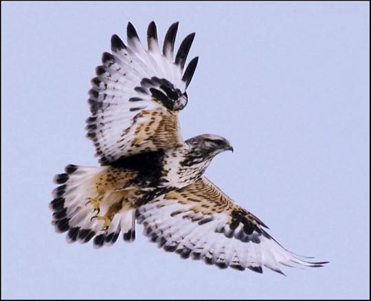 tasey_rough_legged_hawk#1