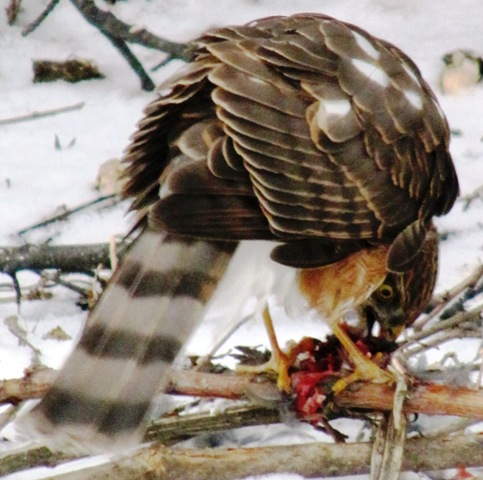 wcrain-pinesiskins-hawk