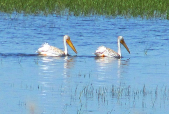 wcrain_american_white_pelicans