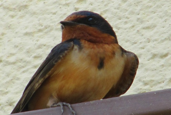 wcrain_barn_swallow_male