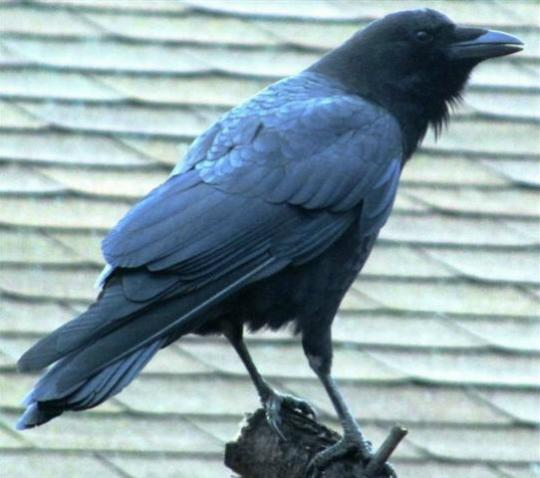wcrain_common_raven
