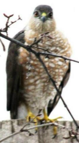 wcrain_coopers_hawk