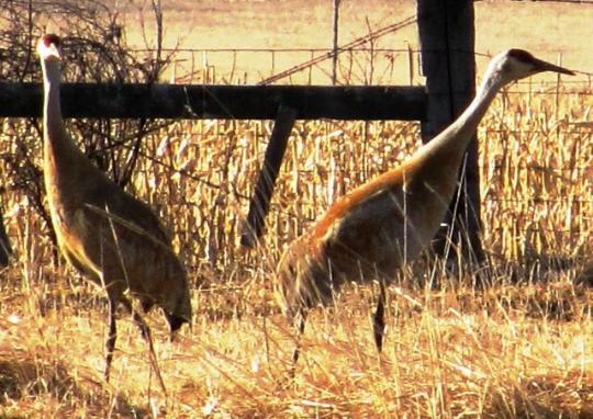wcrain_sandhill_cranes