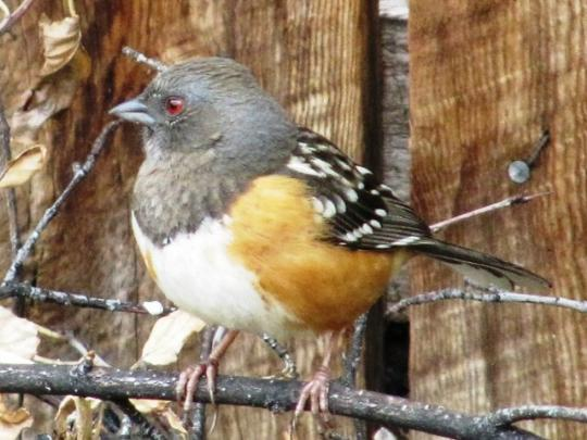 wcrain_spotted_towhee