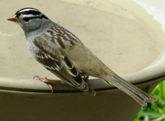 wcrain_whitecrownsparrow2
