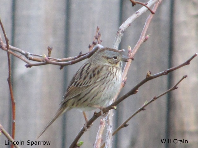 Lincoln Sparrow by W. Crain