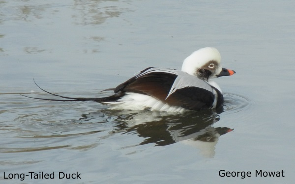 Long-tailed Duck 1 by G. Mowat