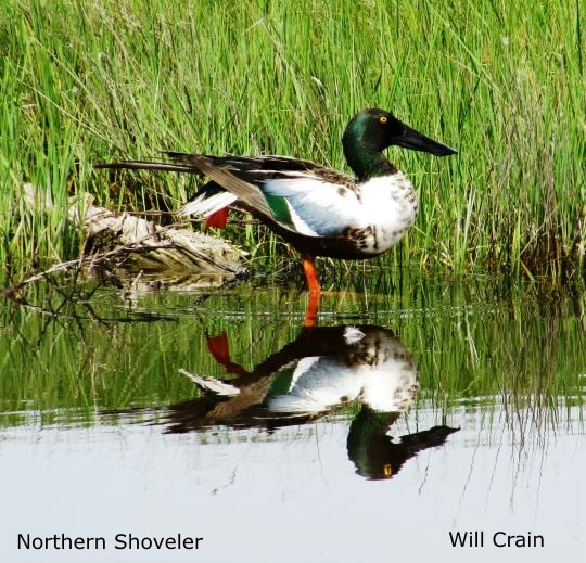Northern Shoveler by W. Crain