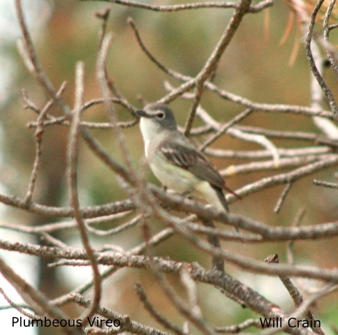 Plumbeous Vireo 2 by W. Crain