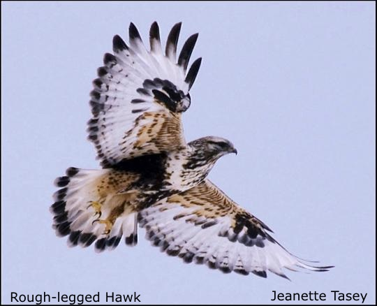 Rough-legged Hawk by J. Tasey