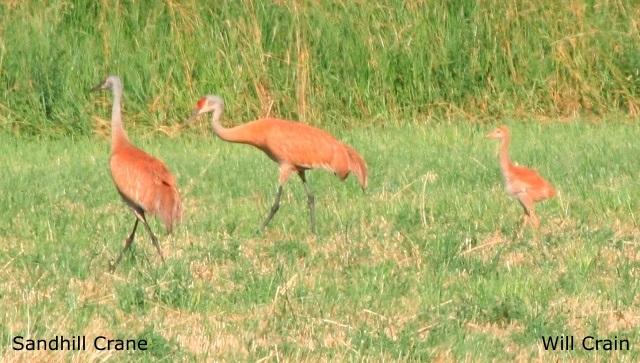 Sandhill Cranes by W. Crain