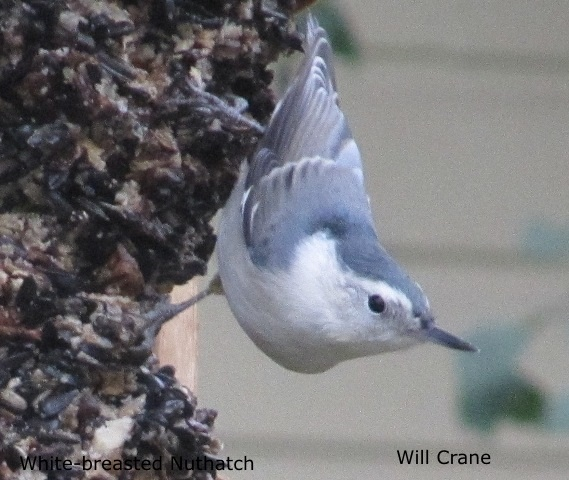 White-breasted Nuthatch by W.Crain