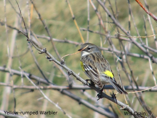 Yellow-rumped Warbler by W. Crain