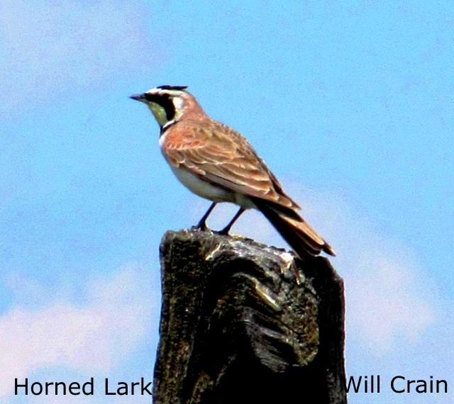 Horned Lark 3 - W. Crain