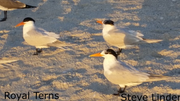 Linder - Royal Terns resized