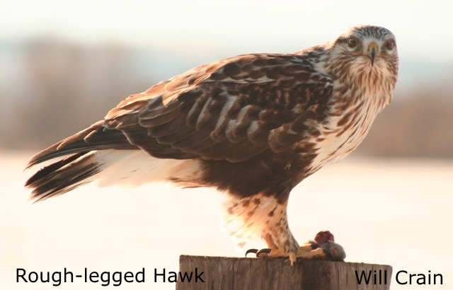 Rough-legged Hawk 2 - W. Crain
