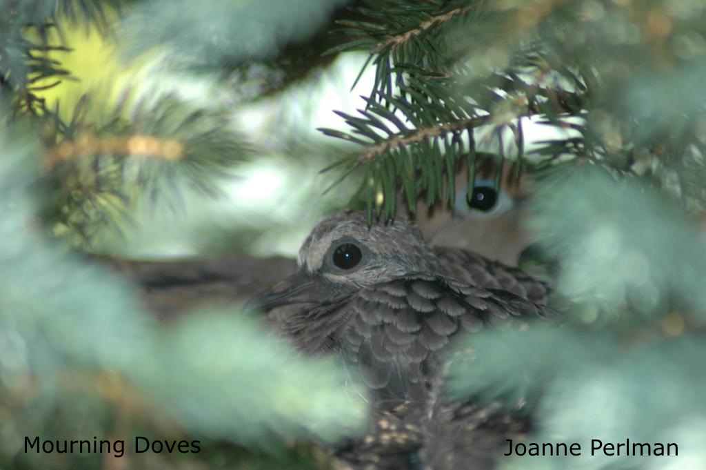 Joanne Perlman - Mourning Doves