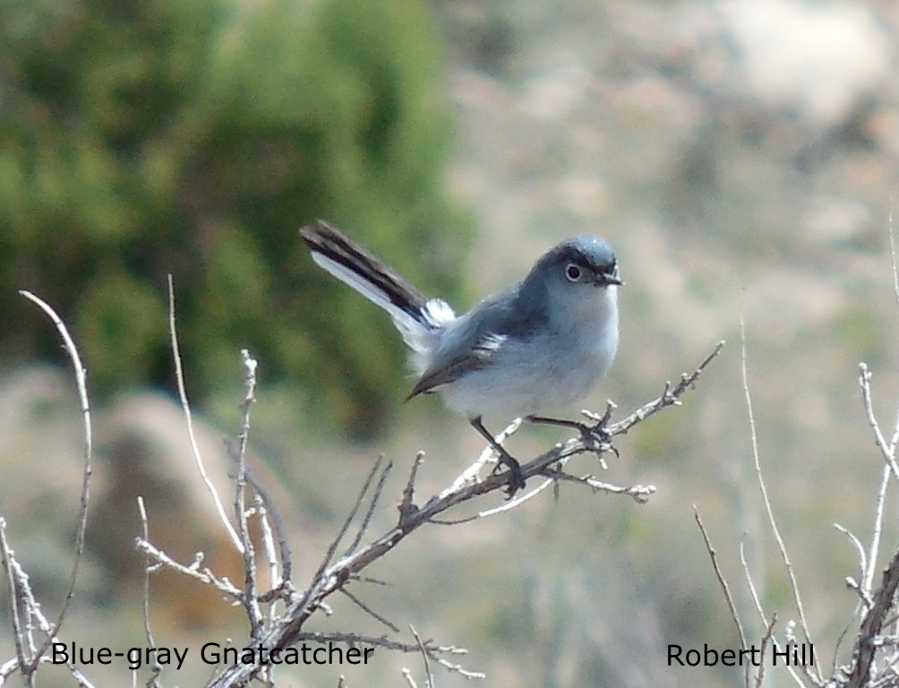 R. Hill - Blue-tailed Gnatcatcher