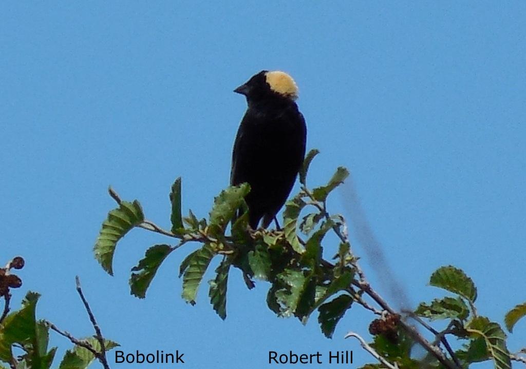 R. Hill - Bobolink
