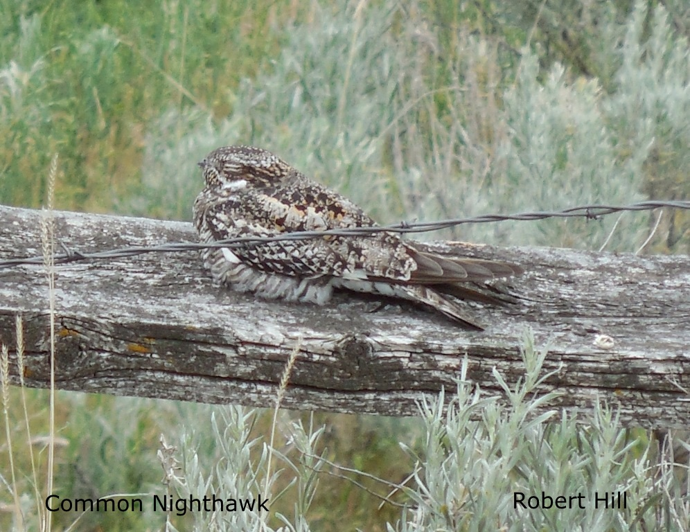R. Hill - Common Nighthawk