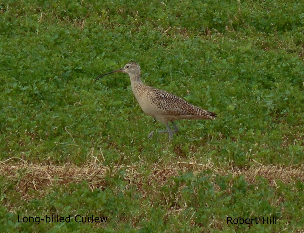 R. Hill - Long-billed Curlew 2