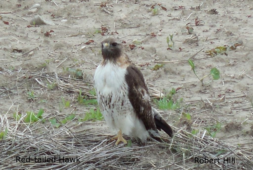 R. Hill - Red-Tailed Hawk