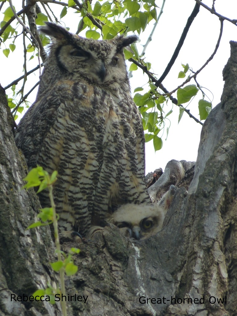 Rebecca Shirley - Great-horned Owl 2