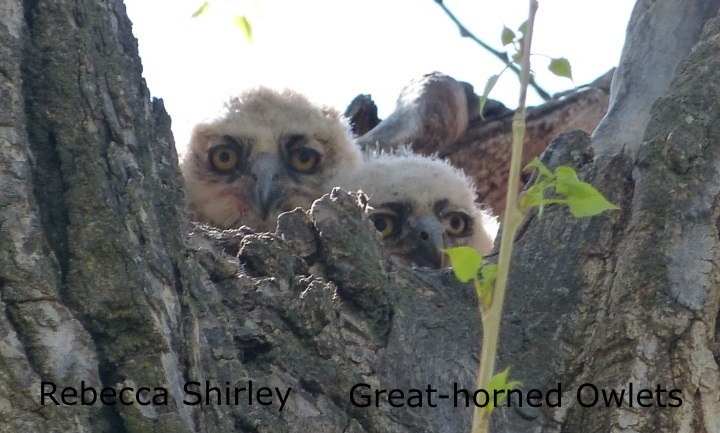 Rebecca Shirley - Great-horned Owlets 1