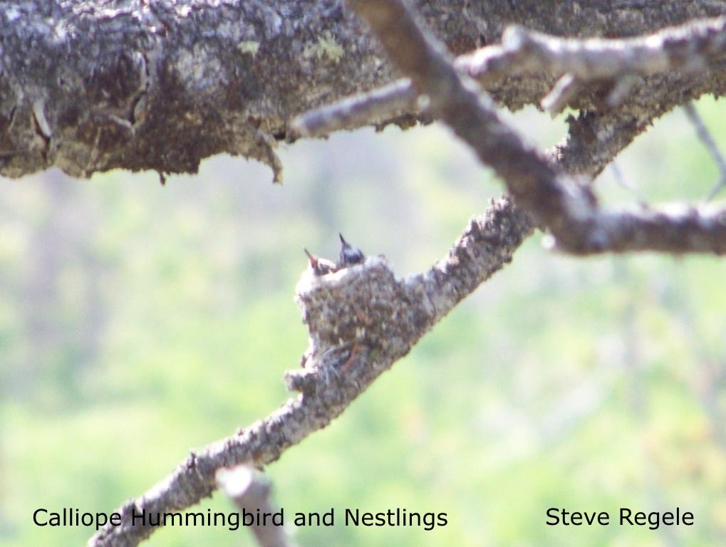 S. Regele - Calliope HB  Nestlings