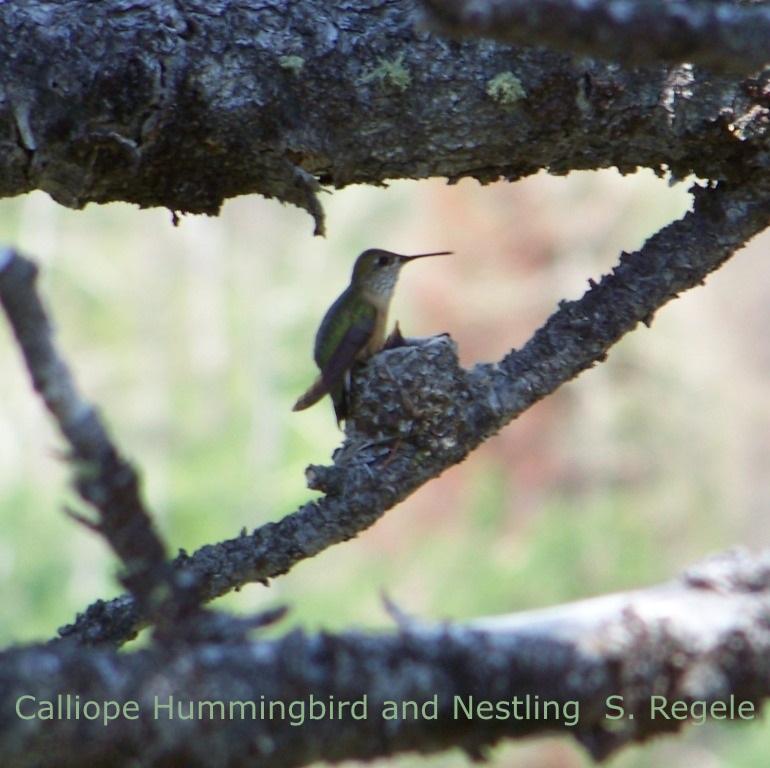 S. Regele - Calliope HB and Nestling