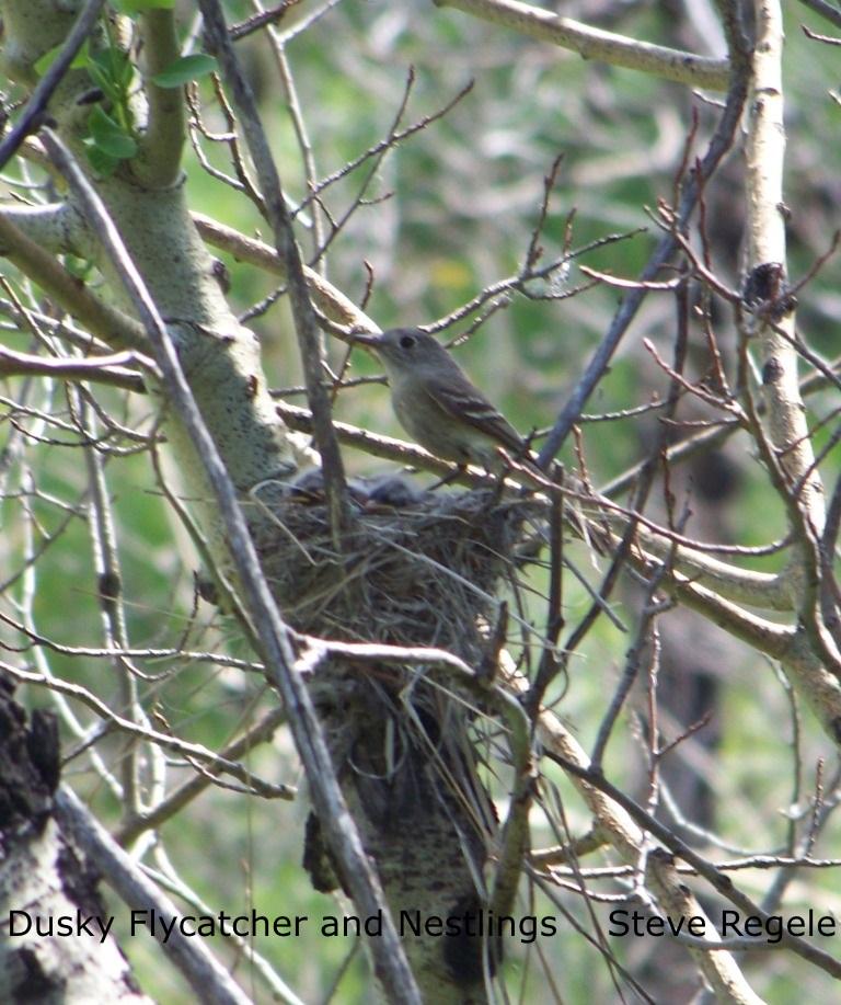 S. Regele - Dusky Flycatcher and Nestlings