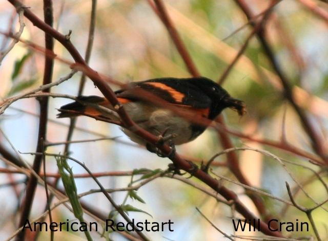 W. Crain - American Redstart