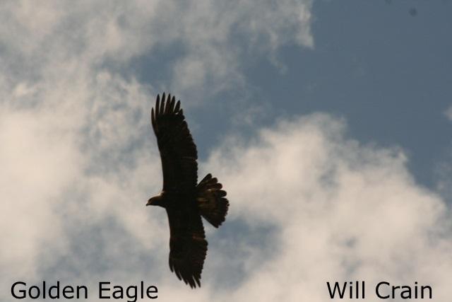 W. Crain - Golden Eagle