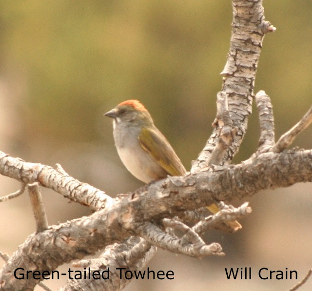 W. Crain - Green-tailed Towhee (2)