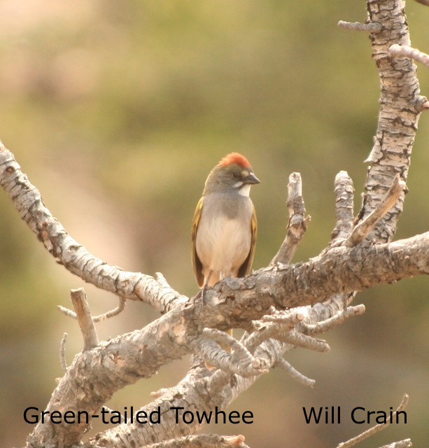 W. Crain - Green-tailed Towhee