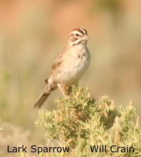 W. Crain - Lark Sparrow
