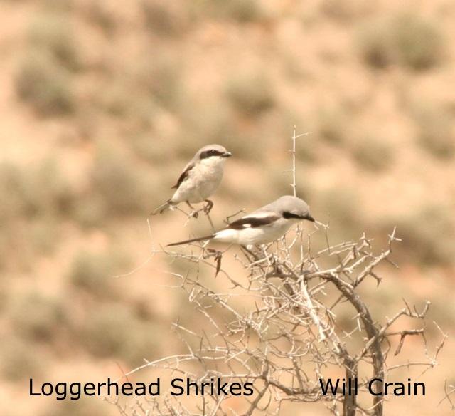 W. Crain - Loggerhead Shrike